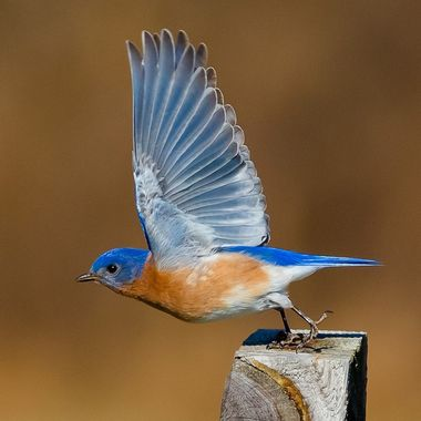 Bluebird takes flight