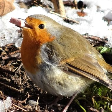 Out on a snowy bitterly cold day so happy this cute robin accepted my snack a joy to capture the moment