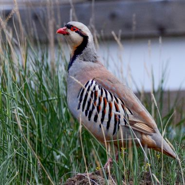 A Chukar in the grass along the road near Ashcroft B C