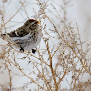 A Common Redpoll eating seeds on tumbleweed.