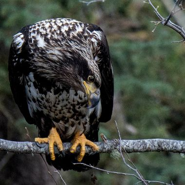 Immature Bald Eagle looking at the creek below.
