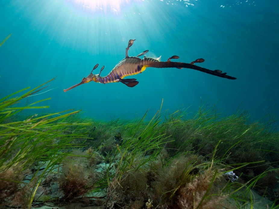 the ever beautiful Sea Dragon, another sea dragon photo done in the shallows to get the light ray...