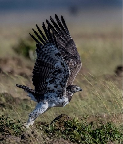 Martial Eagle on the way!