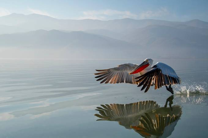 Dalmatian Pelican by ArturRydzewski - Lakes And Reflections Photo Contest