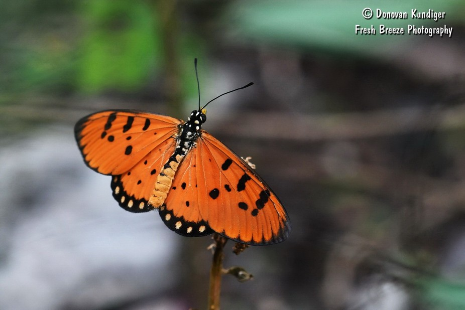 Butterfly - Tawny Coster on plant wings open - DMK