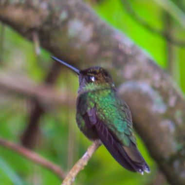 11/2017 Previous name Magnificent Hummingbird 