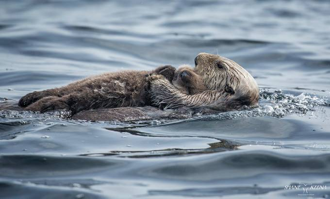 Sea Otter mom and pup, Sitka, Alaska by smkeena - Image Of The Month Photo Contest Vol 31