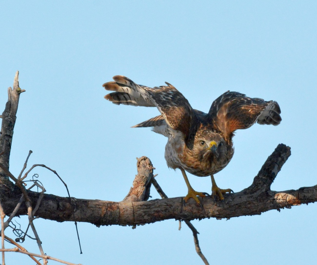 Red Tail Hawk ready to fly