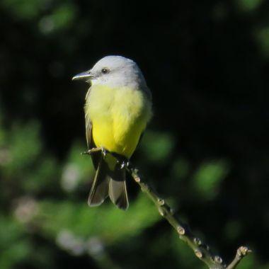 Tropical Flycatcher, Rainforest, Costa Rica, 11/2017 IMG_4541