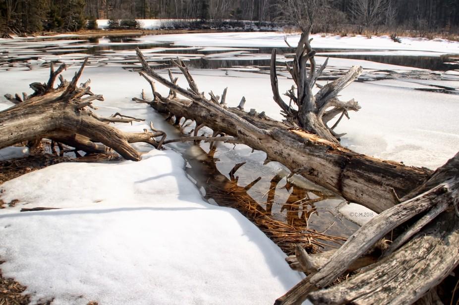 Shot of dead trees in a frozen lake in Sebago, Maine.