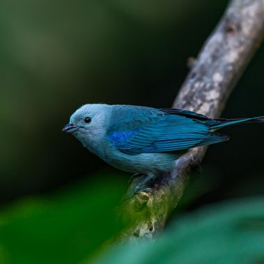 Blue-Gray Tanager-7348