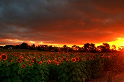 Sunflowers and sunsets 2