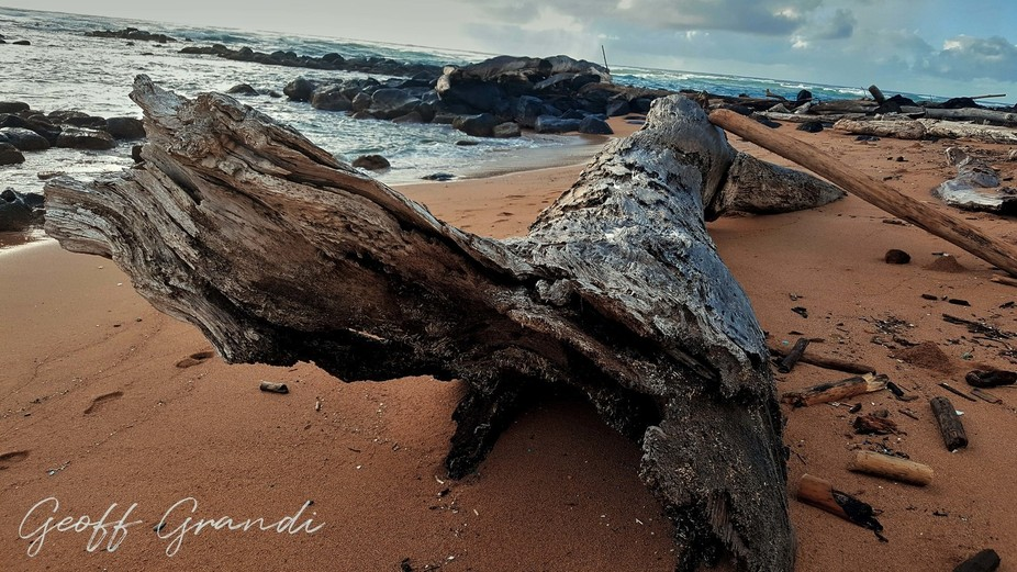Another tree that came ashore after the storms in Kauai during King Tide.