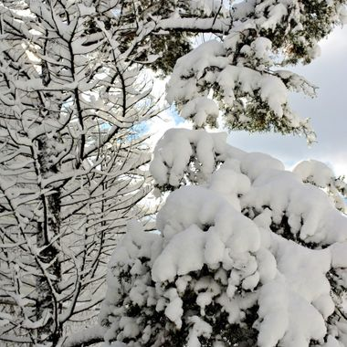 thick snow on the pine