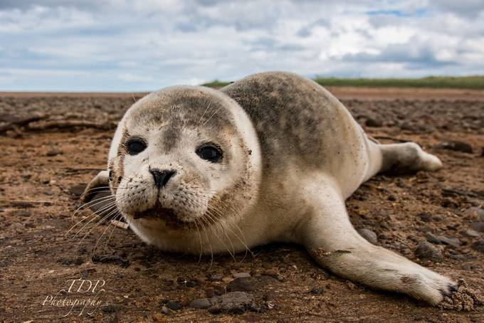 Seal Pup, Tyne Sands, East Lothian by tobyprice - Subjects On The Ground Photo Contest