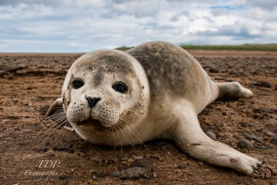Seal Pup, Tyne Sands, East Lothian