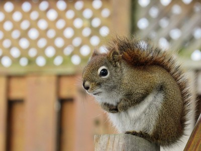 Red Squirrel (IMG_2780)
