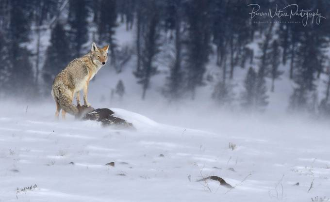 Windswept Coyote by BrowerNaturePhotography - Wind In Nature Photo Contest