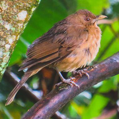 Clay-Colored Robin - 11/2017 - Heredia, Costa Rica - IMG_4426-3