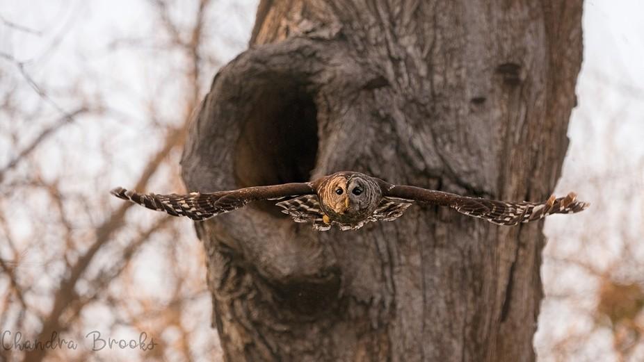 Female Barred Owl in Flight