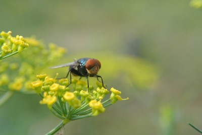 small hard working fly