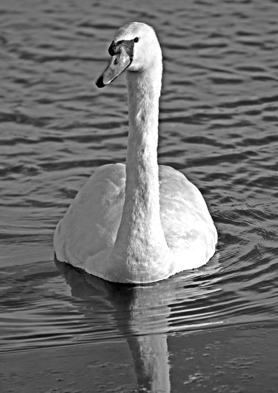 Swan on water 2