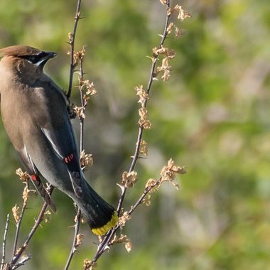 A Cedar waxwing on a rose bush checking for berries.