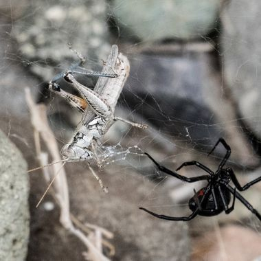 This spider has a grasshopper in her web and she is wrapping it up.