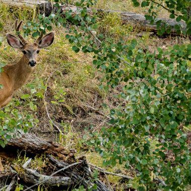 A small Mule Deer Buck