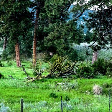 These large Ponderosa Pines are near Stump Lake B C