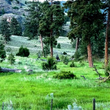 These Ponderosa pines are near Stump Lake B C