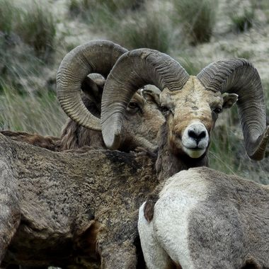 This full curl ram lives near Kamloops B C