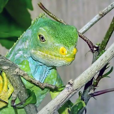 Fiji Crested Iguana (4)