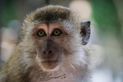 Monkey CU Sig