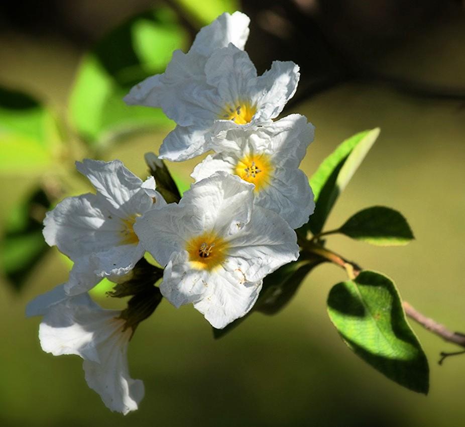 beautiful large blossoms