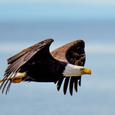 This eagle has a look of determination .. likely has a destination in mind