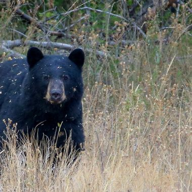 A black bear in the knapweed patch.