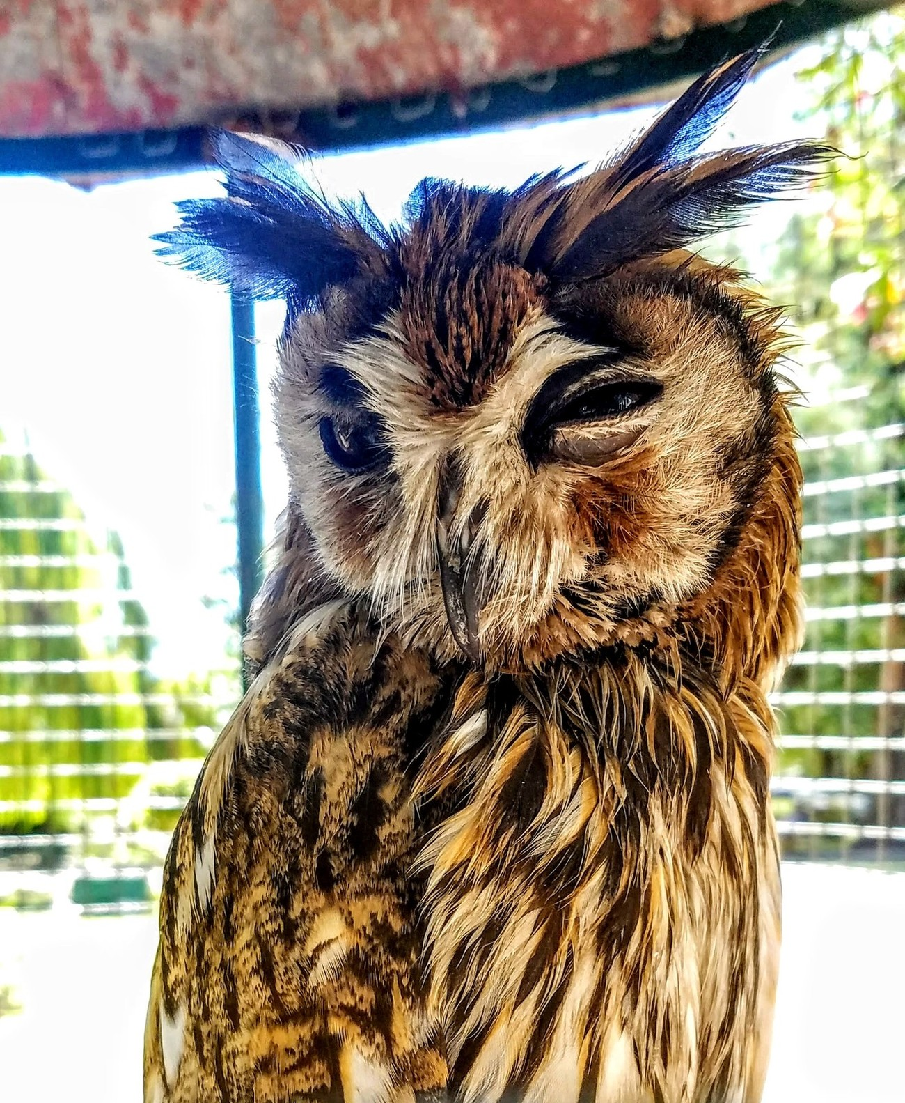 Buenois Aires Ranch Owl