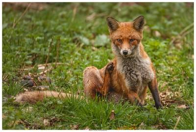 Fox At Titchfield