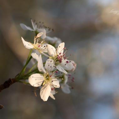 Bradford Pear Blooms and Bokeh