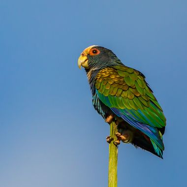 White-Crowned Parrot-1435