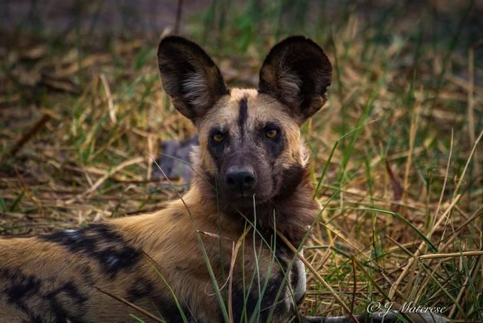 Alpha Wild Dog