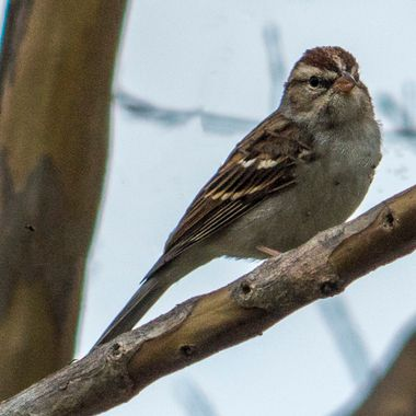 A common sparrow in a tree near Lake Travis, Texas