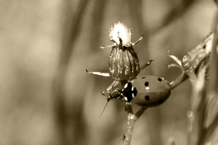Ladybug eats an aphid b/w