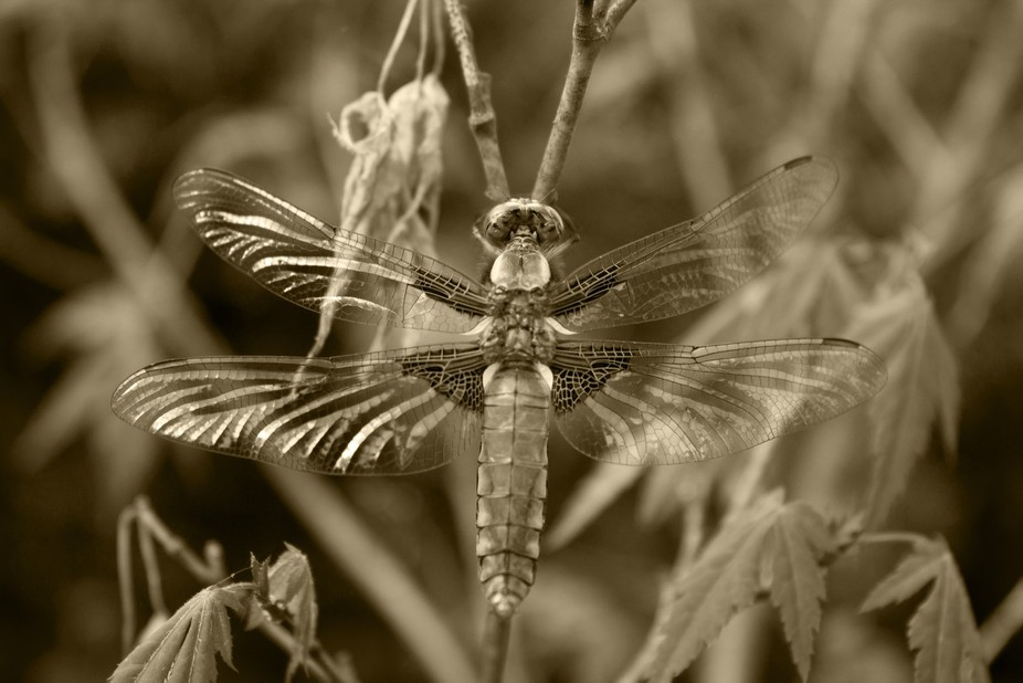 Deragonfly b/w