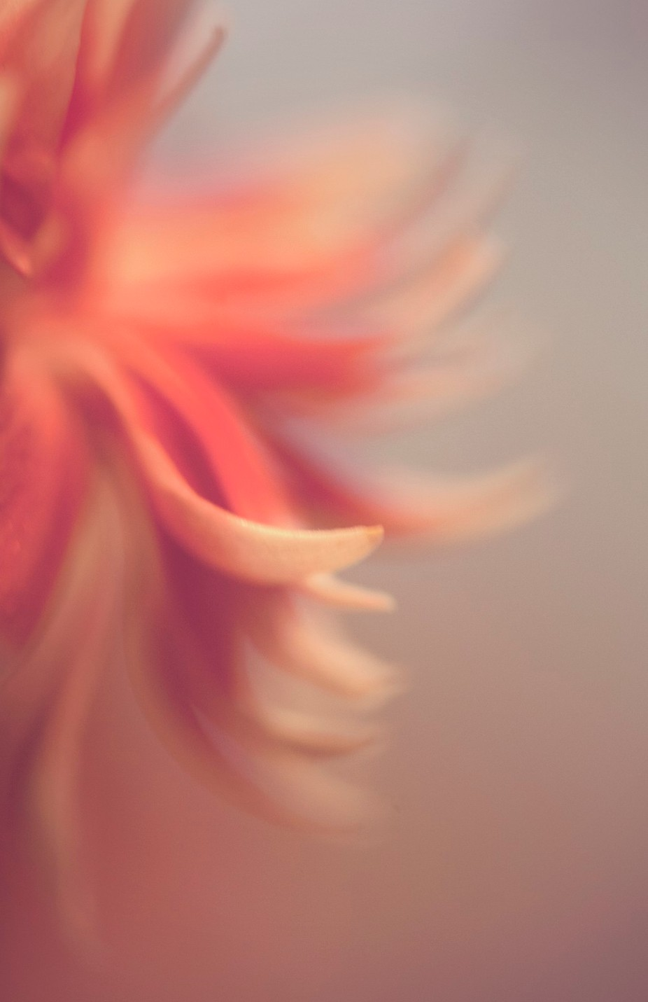 Wispy Carnation by patticarol - Pastel Colors Photo Contest
