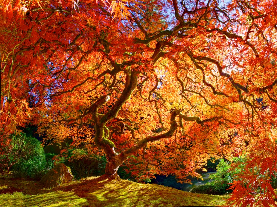 Japanese Maple tree bursts with color on an Autumn day in Portland Oregon.
