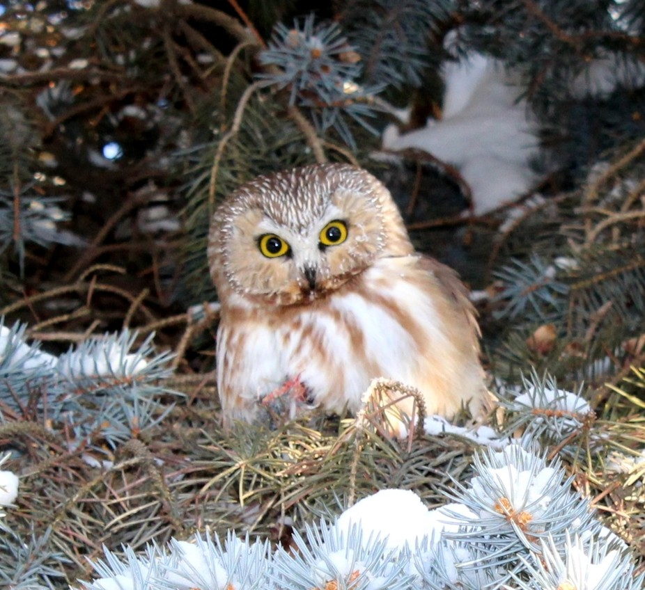 In a tree in our yard we saw-whet!