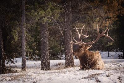 Bull elk ejoying the afternoon sun in Jasper National Park, Alberta, Canada.