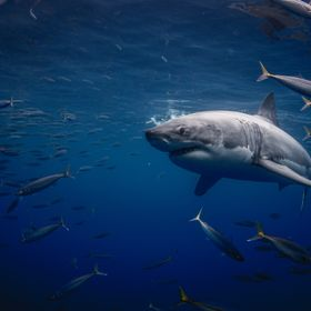 A great white shark casually swims in the pacific ocean